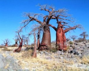 Baobab desert de Kalahari