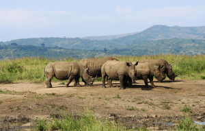 Rhinocéros blanc de Hluhluwe